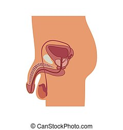 Vector illustration of male reproductive organ - Vector...