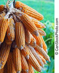 玉米, 農業