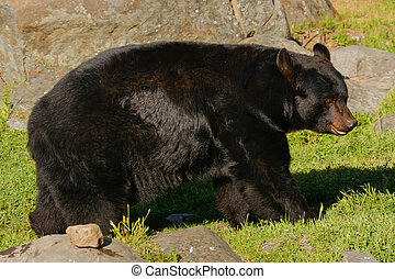 American black bear Ursus americanus walking near rocks
