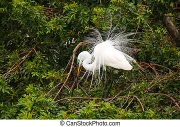 Great Egret showing breeding display
