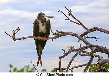 Female Magnificent Frigatebird sitting on a tree on North...