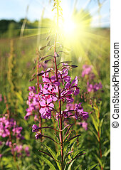 Wild flower of Willow-herb in the sunlight - Willowherb -...