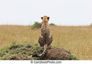 Cheetah with cub resting in the gras with sunlight
