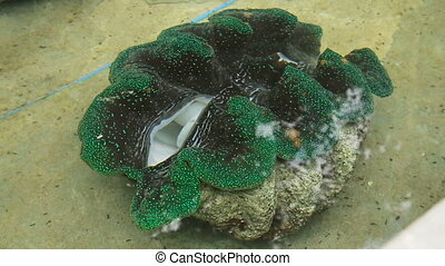 Farm giant clams,tridacna - Giant Clam in a tank of water on...