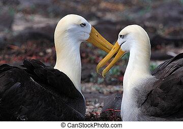 Albatroz, dança, após, Galapagos, proposta, casório, par,...