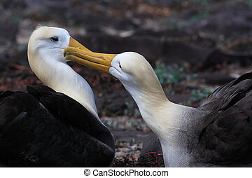 Tender Albatross pair after wedding dance on Galapagos...