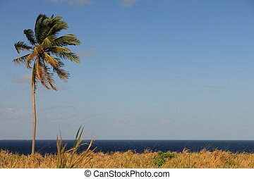 Palm tree, blue sky in background on St. Kitts & Nevis with...