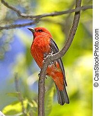 Scarlet Tanager - Piranga olivicea