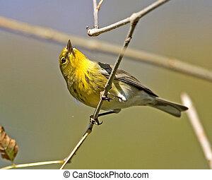 Pine Warbler - Dendroica pinus