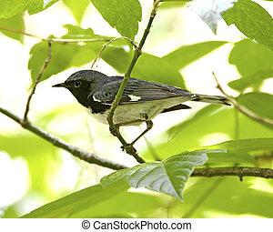 Black-throated Blue Warbler - Dendroica caerulescens