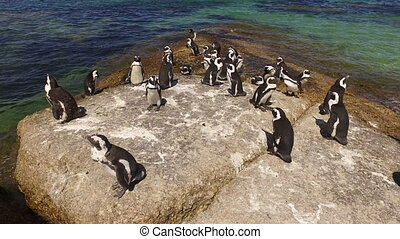 African penguins on coastal rocks - Group of African...
