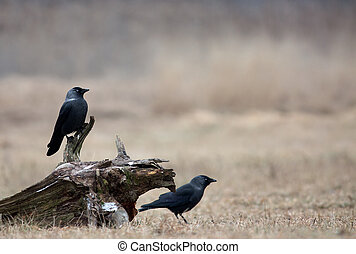 Two Western Jackdaw Corvus monedula in winter on a meadow -...