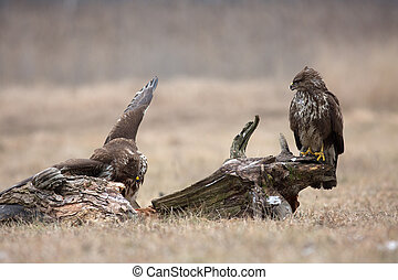Two common buzzards (Buteo buteo) in winter - Two common...