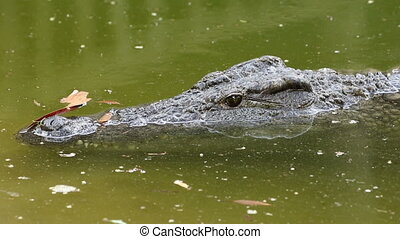 Nile crocodile in water - Portrait of a Nile crocodile...