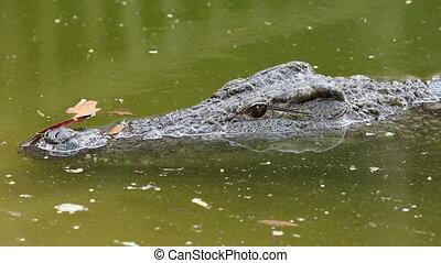 Nile crocodile in water