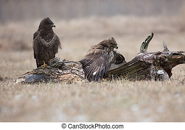 Two Common buzzards Buteo buteo competing for food - Two...