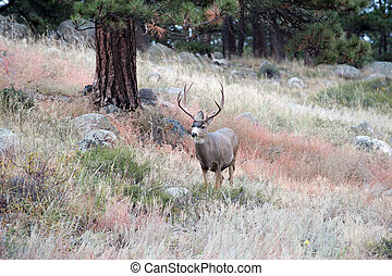 Mule Deer buck - Large mule deer buck standing on a hillside...