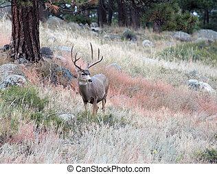 Mule Deer buck - Large mule deer buck standing on a hillside...