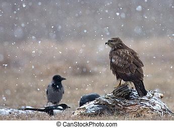 Common buzzard (Buteo buteo) in a snowstorm in the meadow -...