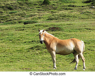 Single horse in an alpine pasture . Sesto Dolomites, South...