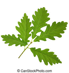 Oak Leaf Sprig - Oak leaf sprig, isolated over white...