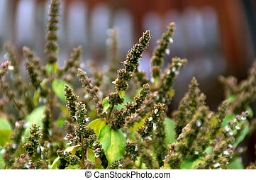 many patchouly flower bud stalks - View of the tops of...