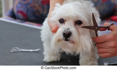Grooming fringe of white Maltese dog by scissors Dog is...
