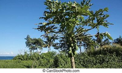 Green papaya on the tree - Tree with green papaya under the...