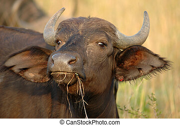 Baby Water Buffalo - Baby water buffalo in the wild