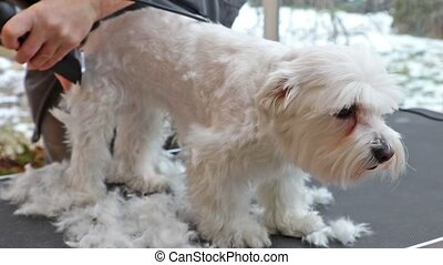 Yawning dog during grooming - Grooming side of a white...
