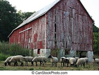 The Sheep Barn - Flock of sheep lined up in front of old red...