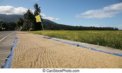 Rice is dried on the road in outdoors. - Many rice drying on...