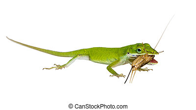 The lizard Northern Green Anole (Anolis carolinensis...