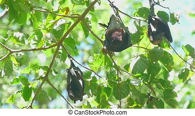 Flying foxes rest - Lyles flying foxes Pteropus lylei rest...