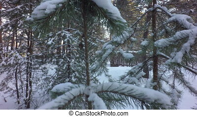 Snow caps on pine branches in winter forest