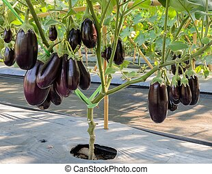 Purple eggplant on its tree - Purple eggplant plantation in...