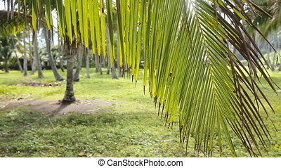 Young girl and coconut branch with leaves - young girl comes...