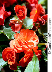 Bright red begonias - Small bush of bright red begonias