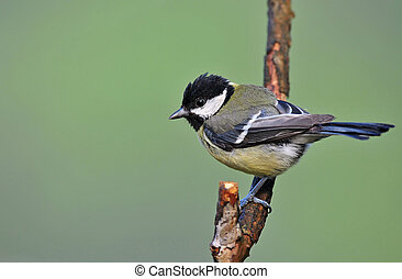 Great tit - juvenile - Photo of juvenile great tit standing...
