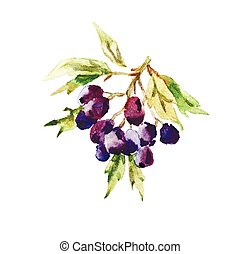 Vector watercolor autumn berries - Hawthorn berries painted...
