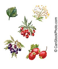 vector watercolor set of rosehips and hawthorn - Hand-drawn...