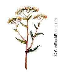 Yarrow watercolor illustration. Hand drawn herb - Yarrow...