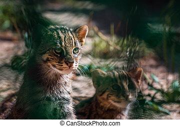 portrait Wild Cats ,Felis silvestris - portrait European...