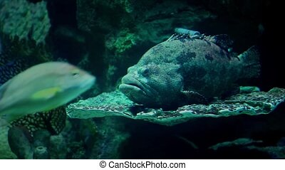 Sea monster Grouper - Monster  hiding in the reef