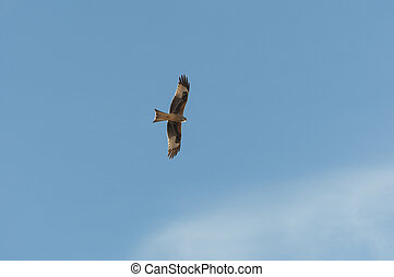 Red kite, Milvus milvus, in flight. This kite is currently...