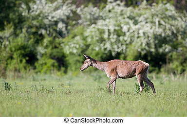 Red deer hind - Pregnant red deer hind walking on meadow in...