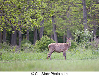 Red deer hind - Pregnant red deer hind standing on meadow in...