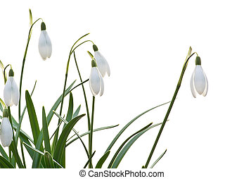 snowdrops on the white background - bouquet of snowdrops on...