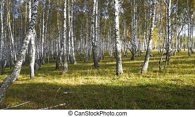 walking in the autumn birch forest