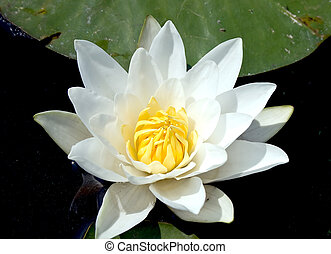 White water lily on a dark background closeup